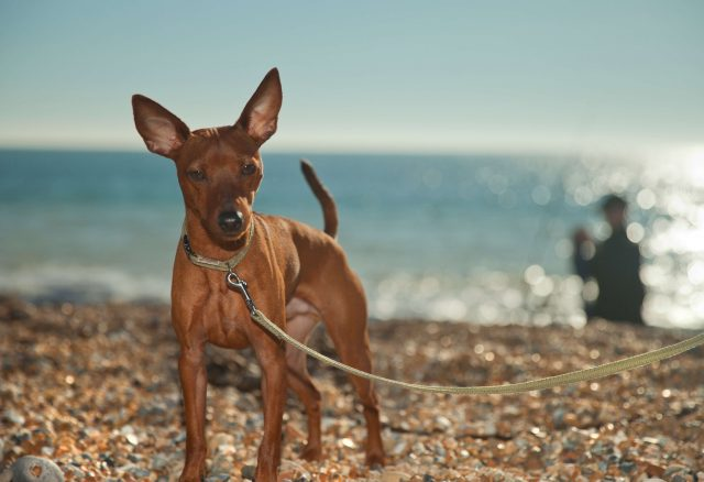 A miniature Pinscher in the sun